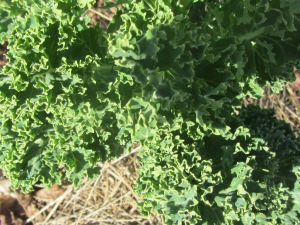 This is Winterbor, a curly leaved kale.