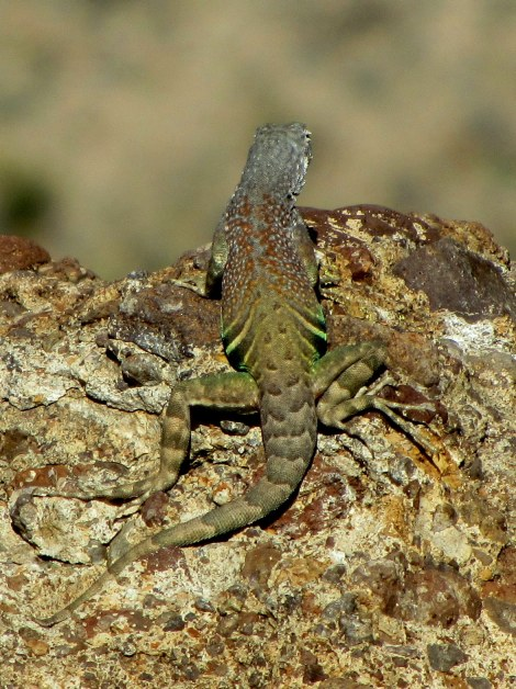 Greater Earless Lizard (Cophosaurus texanus)  They lack external ear openings to prevent sand from entering their ears.